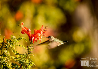 Hummingbird (1 of 1)